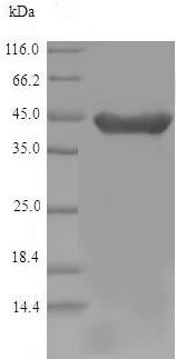 SDS-PAGE - Recombinant Mouse HAO1/GOX protein (His tag) (ab239572)