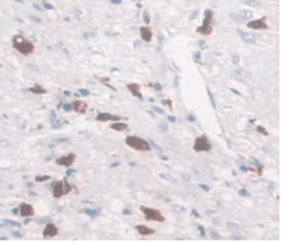 Immunohistochemistry (Formalin/PFA-fixed paraffin-embedded sections) - Anti-SLC40A1 antibody [C2] (ab239583)