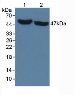 Western blot - Anti-IDH1 antibody [C12] (ab239606)