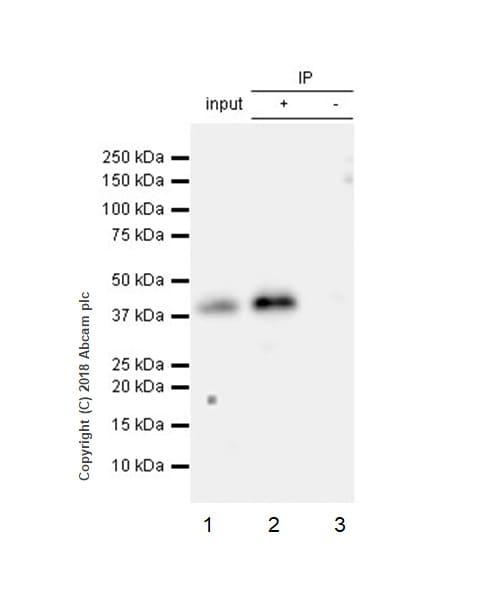 Immunoprecipitation - Anti-PBK/SPK antibody [EPR21983] - BSA and Azide free (ab239760)