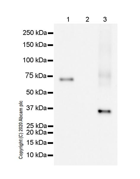 Western blot - Anti-HLA Class 1 ABC antibody [EPR22172] - BSA and Azide free (ab239788)