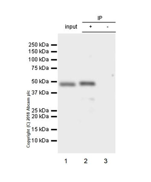 Immunoprecipitation - Anti-Beta Arrestin 2 antibody [EPR22073] - BSA and Azide free (ab239791)