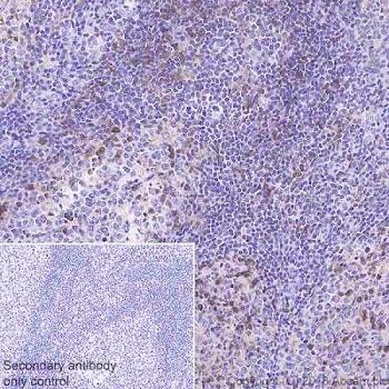 Immunohistochemistry (Formalin/PFA-fixed paraffin-embedded sections) - Anti-DGKZ/DGK-zeta antibody [EPR22040-72] - BSA and Azide free (ab239792)
