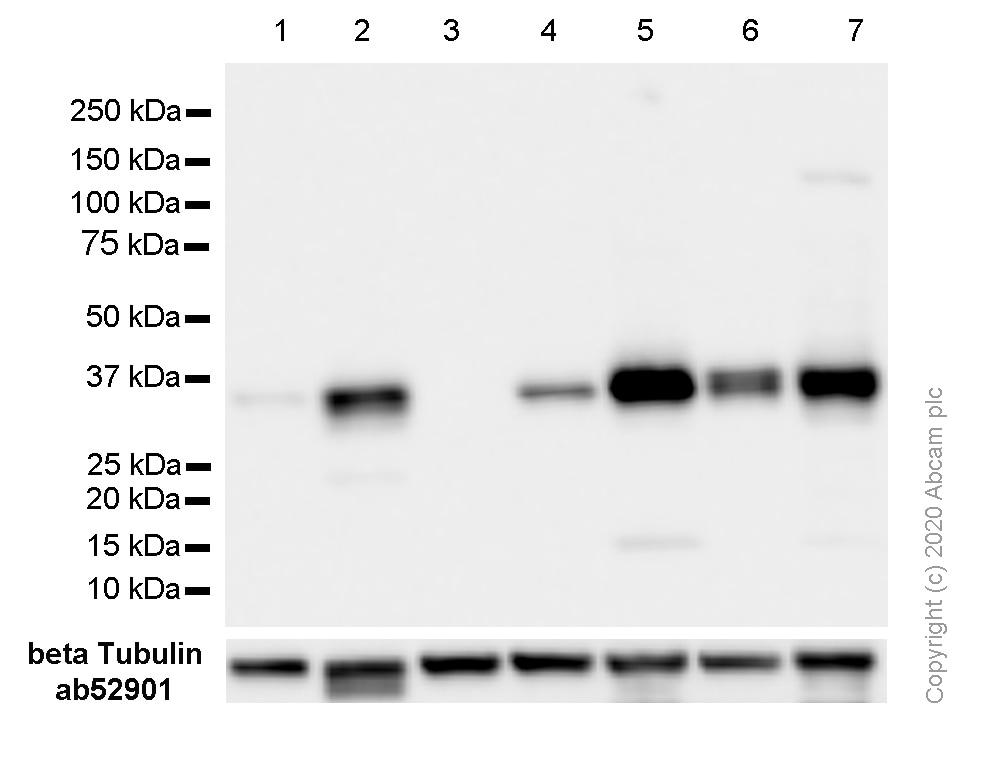 Western blot - Anti-Cyclin D1 antibody [SP4] - BSA and Azide free (ab239794)