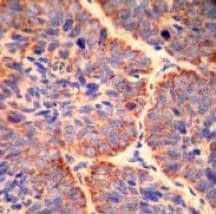 Immunohistochemistry (Formalin/PFA-fixed paraffin-embedded sections) - Anti-Smac / Diablo antibody [Y12] - BSA and Azide free (ab239797)