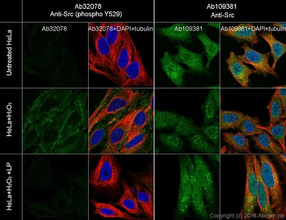 Immunocytochemistry/ Immunofluorescence - Anti-Src (phospho Y529) antibody [Y232] - BSA and Azide free (ab239801)