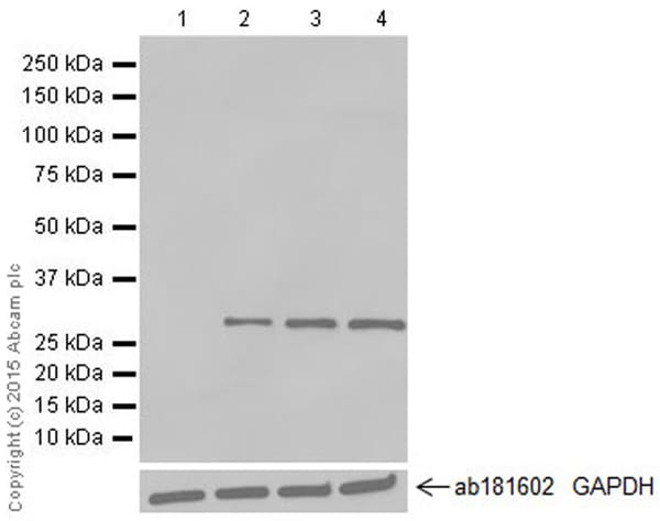 Western blot - Anti-GFP antibody [E385] - BSA and Azide free (ab239807)