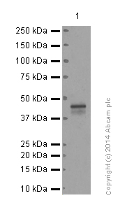 Western blot - Anti-CCR8 antibody [E77] - BSA and Azide free (ab239814)