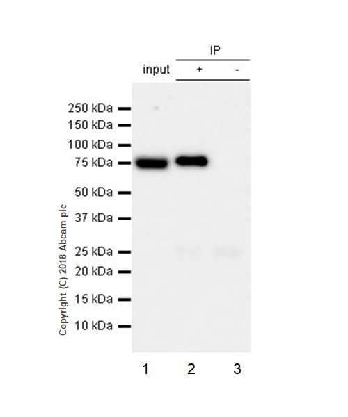 Immunoprecipitation - Anti-Ezrin antibody [EP886Y] - BSA and Azide free (ab239832)