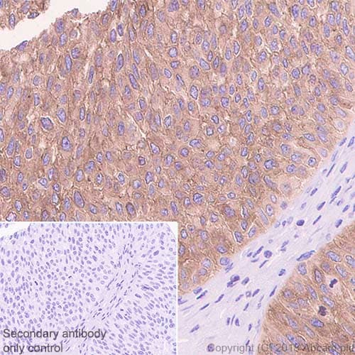 Immunohistochemistry (Formalin/PFA-fixed paraffin-embedded sections) - Anti-Ezrin antibody [EP886Y] - BSA and Azide free (ab239832)