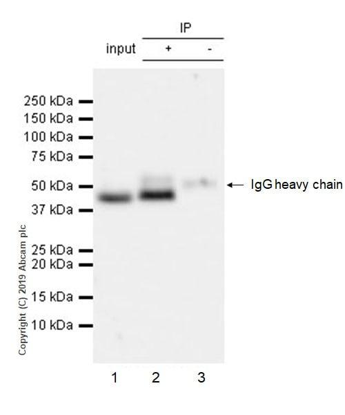 Immunoprecipitation - Anti-Cyclin E2 antibody [EP454Y] - BSA and Azide free (ab239833)