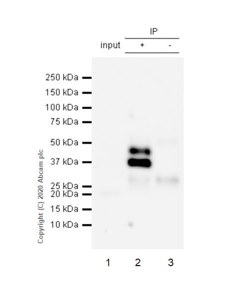 Immunoprecipitation - Anti-SIRT2 antibody [EP1668Y] - BSA and Azide free (ab239838)