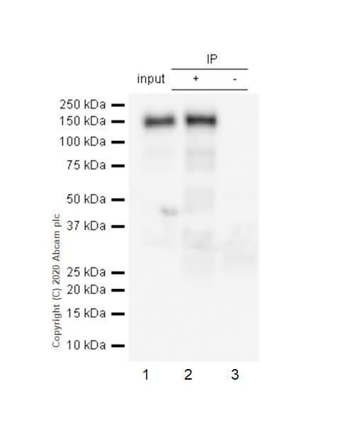 Immunoprecipitation - Anti-pan Cadherin antibody [EPR1792Y] - BSA and Azide free (ab239839)