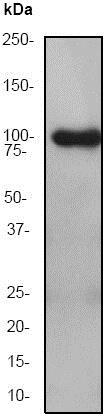 Western blot - Anti-MLK3 antibody [EP1460Y] - BSA and Azide free (ab239840)