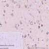 Immunohistochemistry (Formalin/PFA-fixed paraffin-embedded sections) - Anti-Presenilin 2/AD5 antibody [EP1515Y] - BSA and Azide free (ab239841)