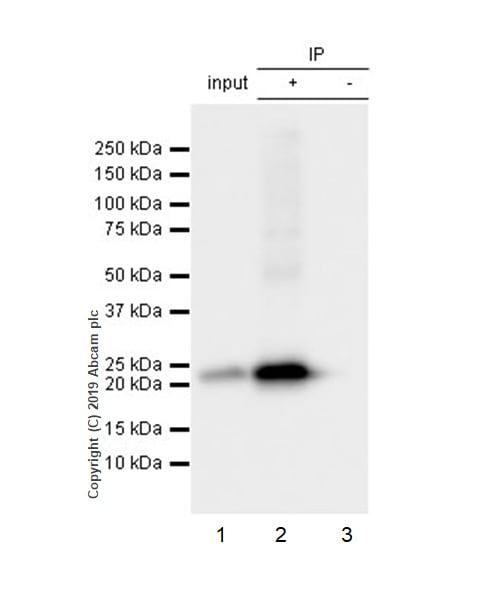 Immunoprecipitation - Anti-Presenilin 2/AD5 antibody [EP1515Y] - BSA and Azide free (ab239841)
