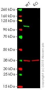 Western blot - Anti-VAV2 antibody [EP1067Y] - BSA and Azide free (ab239846)