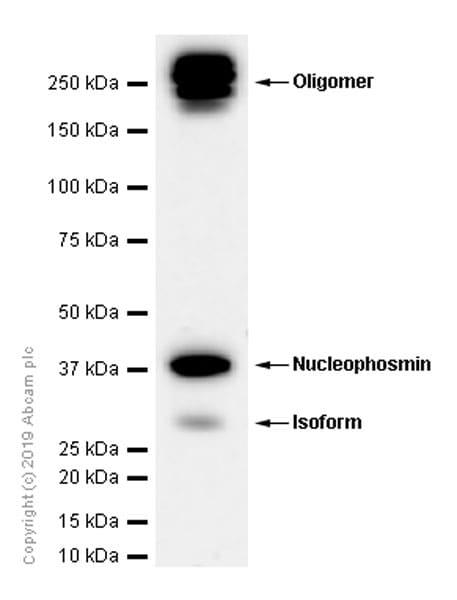 Western blot - Anti-Nucleophosmin antibody [EP1848Y] - BSA and Azide free (ab239847)