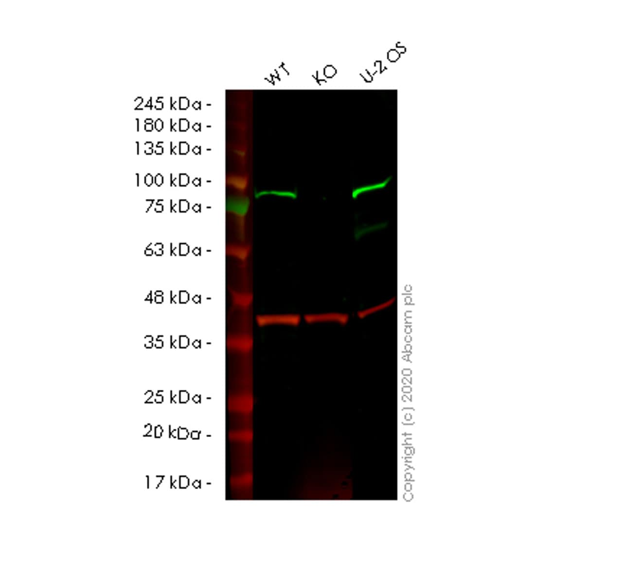Western blot - Anti-SMURF 2 antibody [EP629Y3] - BSA and Azide free (ab239855)
