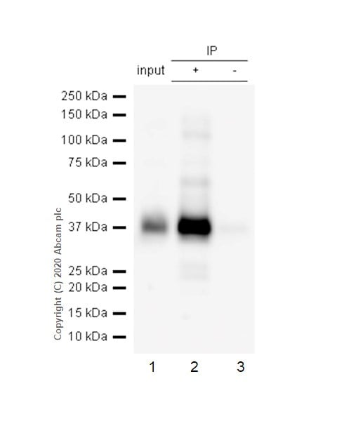 Immunoprecipitation - Anti-CD32B (phospho Y292) antibody [EP926Y] - BSA and Azide free (ab239861)