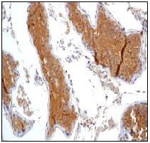 Immunohistochemistry (Formalin/PFA-fixed paraffin-embedded sections) - Anti-PRKAR2B antibody [EP2649Y] - BSA and Azide free (ab239870)