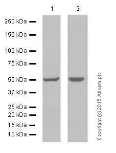 Western blot - Anti-AP2M1 antibody [EP2695Y] - BSA and Azide free (ab239871)