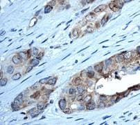Immunohistochemistry (Formalin/PFA-fixed paraffin-embedded sections) - Anti-CSNK2A1 antibody [EP1963Y] - BSA and Azide free (ab239873)