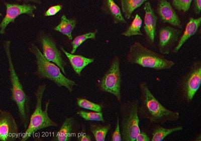 Immunocytochemistry/ Immunofluorescence - Anti-YB1 antibody [EP2708Y] - BSA and Azide free (ab239875)