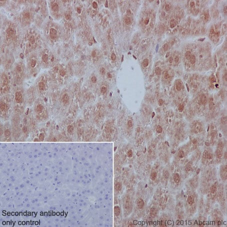Immunohistochemistry (Formalin/PFA-fixed paraffin-embedded sections) - Anti-YB1 antibody [EP2708Y] - BSA and Azide free (ab239875)