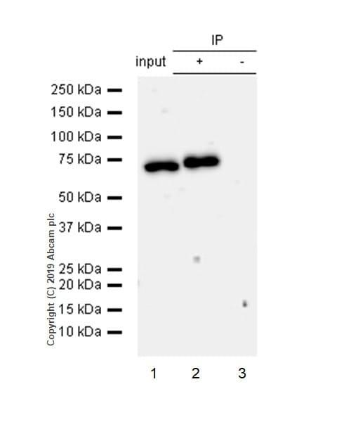 Immunoprecipitation - Anti-NF-kB p65 (phospho S536) antibody [EP2294Y] - BSA and Azide free (ab239882)