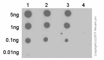 Dot Blot - Anti-Nephrin (phospho Y1176 + Y1193) antibody [EPTPG1] - BSA and Azide free (ab239895)