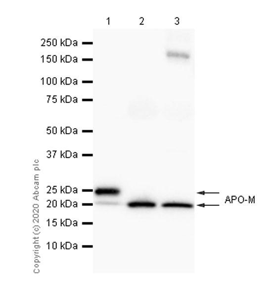 Western blot - Anti-Apo-M antibody [EPR2904] - BSA and Azide free (ab239902)