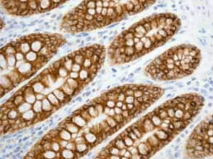 Immunohistochemistry (Formalin/PFA-fixed paraffin-embedded sections) - Anti-Aquaporin 5 antibody [EPR3747] - BSA and Azide free (ab239904)
