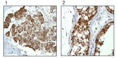 Immunohistochemistry (Formalin/PFA-fixed paraffin-embedded sections) - Anti-RanGAP1 antibody [EPR3295] - BSA and Azide free (ab239907)
