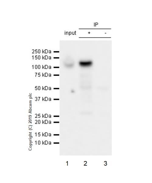Immunoprecipitation - Anti-Pumilio 2 antibody [EPR3813] - BSA and Azide free (ab239909)