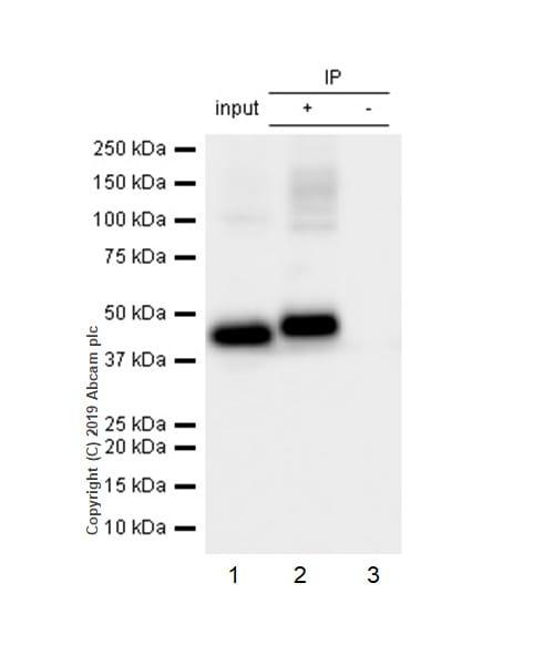 Immunoprecipitation - Anti-Angiotensin II Type 2 Receptor antibody [EPR3876] - BSA and Azide free (ab239911)