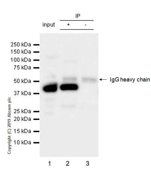 Immunoprecipitation - Anti-ACADM/MCAD antibody [EPR3708] - BSA and Azide free (ab239914)