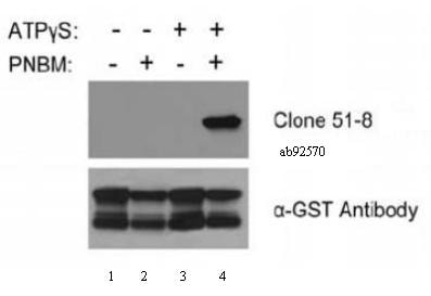 Western blot - Anti-Thiophosphate ester antibody [51-8] - BSA and Azide free (ab239919)