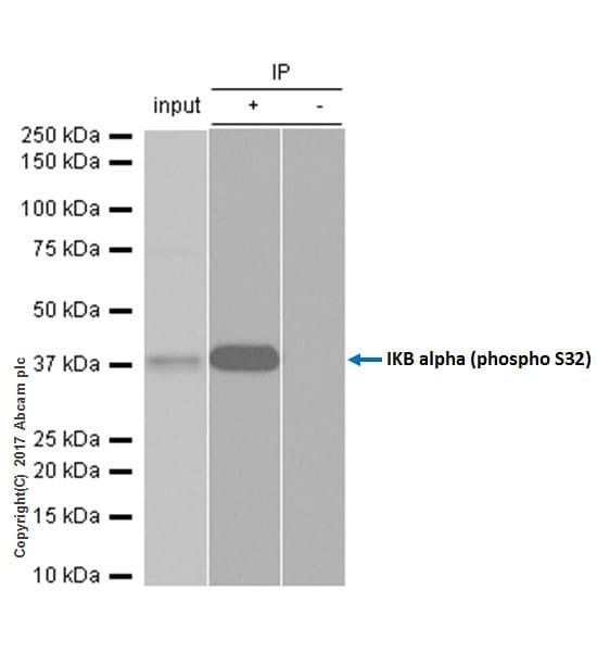 Immunoprecipitation - Anti-IKB alpha (phospho S32) antibody [EPR3148] - BSA and Azide free (ab239920)