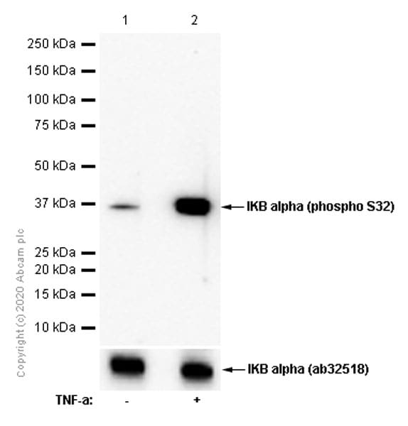 Western blot - Anti-IKB alpha (phospho S32) antibody [EPR3148] - BSA and Azide free (ab239920)