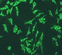 Immunocytochemistry/ Immunofluorescence - Anti-Annexin V/ANXA5 antibody [EPR3980] - BSA and Azide free (ab239922)