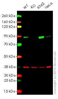 Western blot - Anti-Stromal interaction molecule 1 antibody [EPR3414] - BSA and Azide free (ab239938)