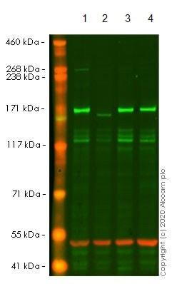 Western blot - Anti-EEA1 antibody [EPR4245] - BSA and Azide free (ab239942)