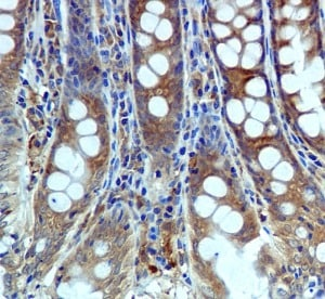 Immunohistochemistry (Formalin/PFA-fixed paraffin-embedded sections) - Anti-USP10 antibody [EPR4261] - BSA and Azide free (ab239953)
