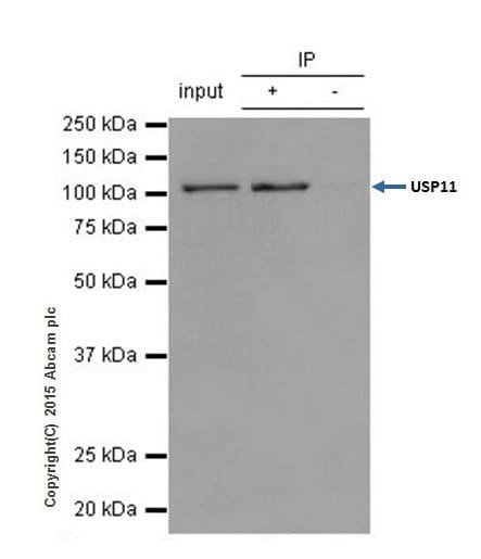 Immunoprecipitation - Anti-USP11 antibody [EPR4346] - BSA and Azide free (ab239957)