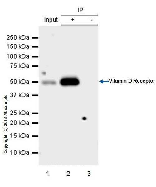 Immunoprecipitation - Anti-Vitamin D Receptor antibody [EPR4552] - BSA and Azide free (ab239958)