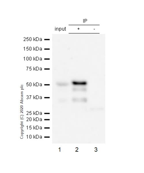 Immunoprecipitation - Anti-GATA2 antibody [EPR2822(2)] - BSA and Azide free (ab239959)