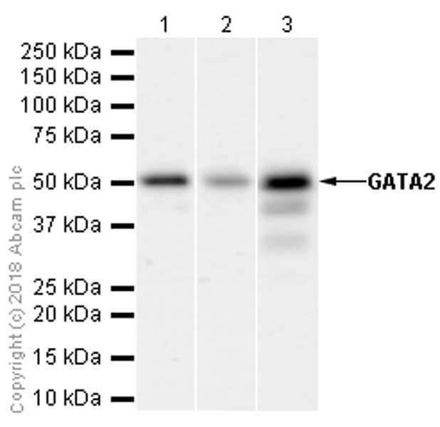 Western blot - Anti-GATA2 antibody [EPR2822(2)] - BSA and Azide free (ab239959)