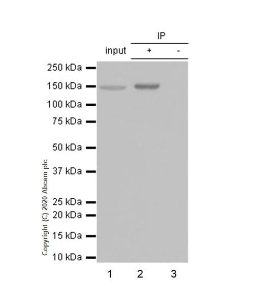 Immunoprecipitation - Anti-FGFR2 antibody [EPR5180] - BSA and Azide free (ab239970)