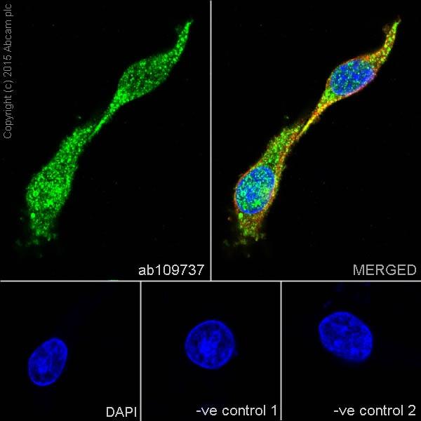 Immunocytochemistry/ Immunofluorescence - Anti-Dlx5 antibody [EPR4488] - BSA and Azide free (ab239987)